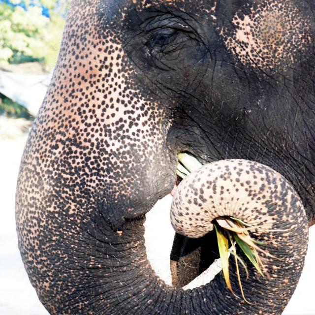 """""""Thai Elephant eating"""" stock image"""