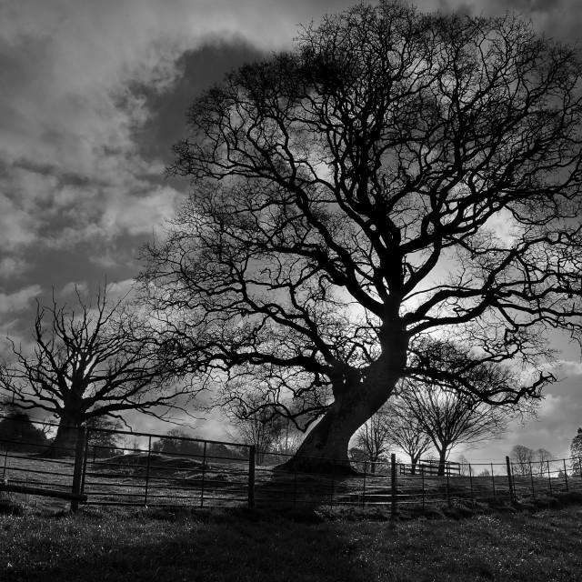 """Knightshaye tree"" stock image"