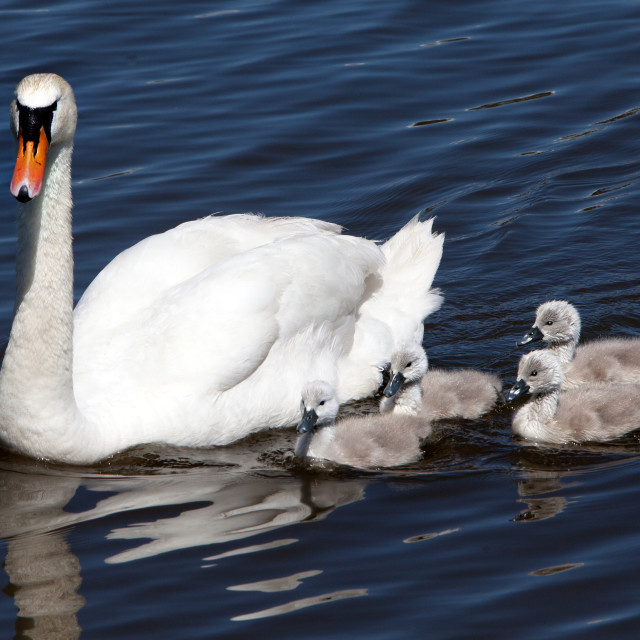 """Mute Swan with her Signets"" stock image"