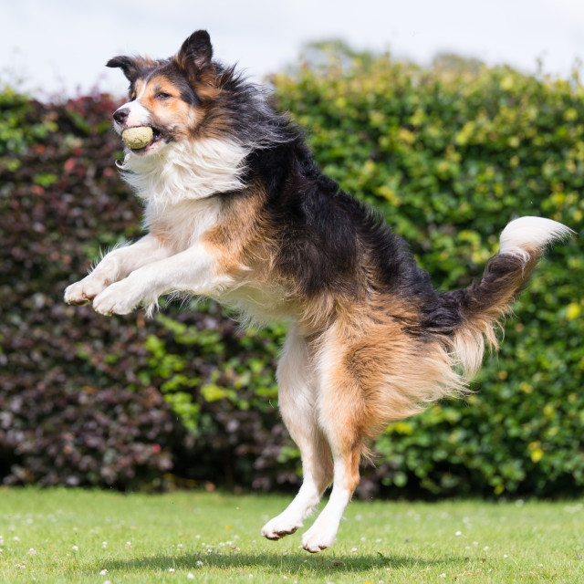"""""""collie catching ball"""" stock image"""