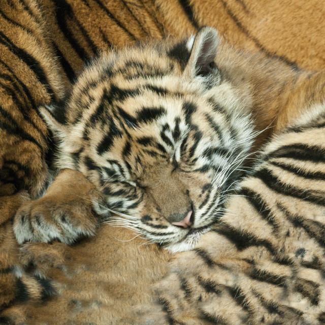 """Let Sleeping Tigers Lie"" stock image"