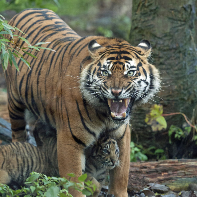 """Tiger Mother"" stock image"