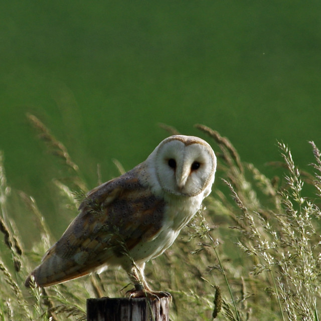 """Barn Owl 3"" stock image"