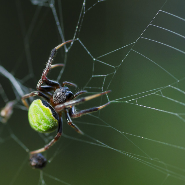 """Green Orb Web Weaving Spider"" stock image"