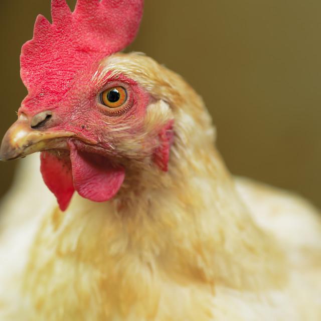 """Farm Chicken"" stock image"