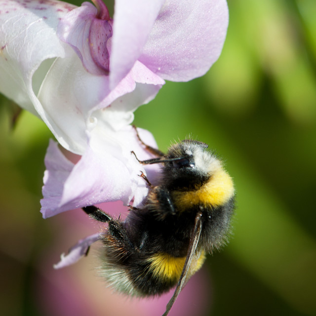 """""""Bee on Orchid"""" stock image"""