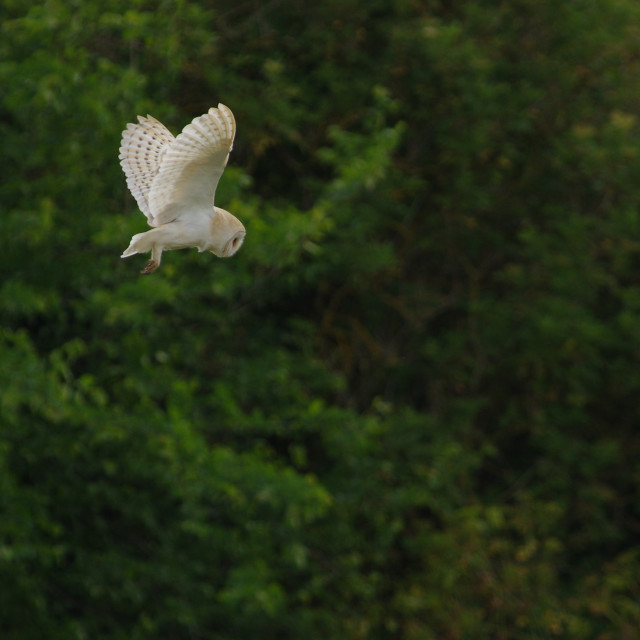 """Barn Owl 4"" stock image"