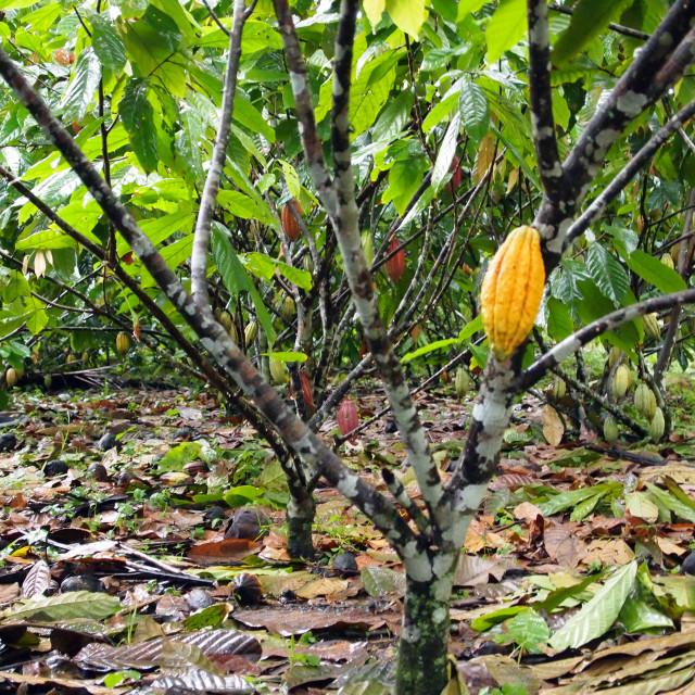 """""""Cocoa pod on tree"""" stock image"""