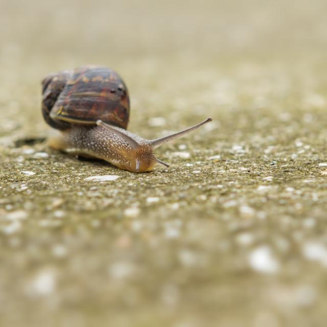 """Garden snail"" stock image"