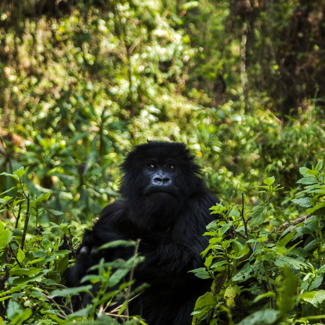 """Juvenile Gorilla of Ugenda Group"" stock image"