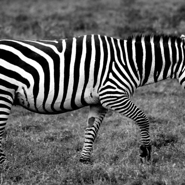 """Zebra crossing"" stock image"