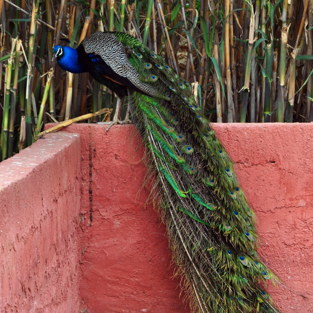 """peacock with colorful plumage"" stock image"