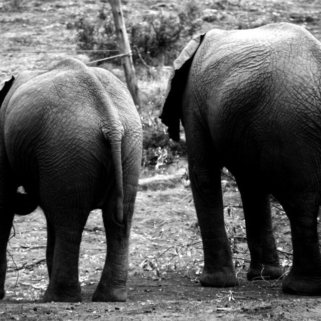 """""""Orphaned Elephants"""" stock image"""