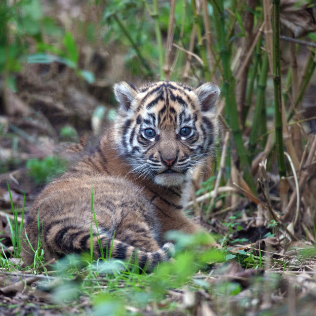 """Sumatran Tiger Kitten"" stock image"