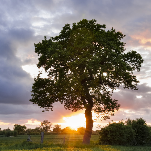 """Tree in English countryside at sunset"" stock image"