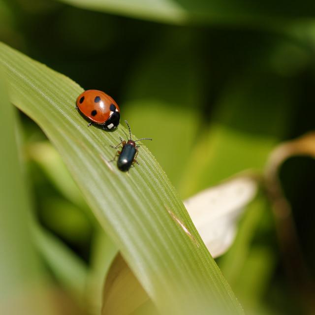 """Ladybird & leaf beetle meeting"" stock image"