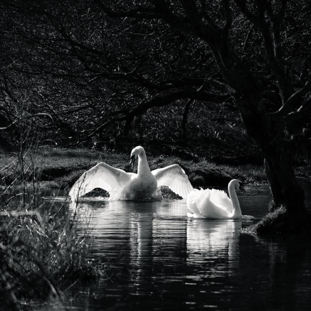 """""""Swanning Around"""" stock image"""