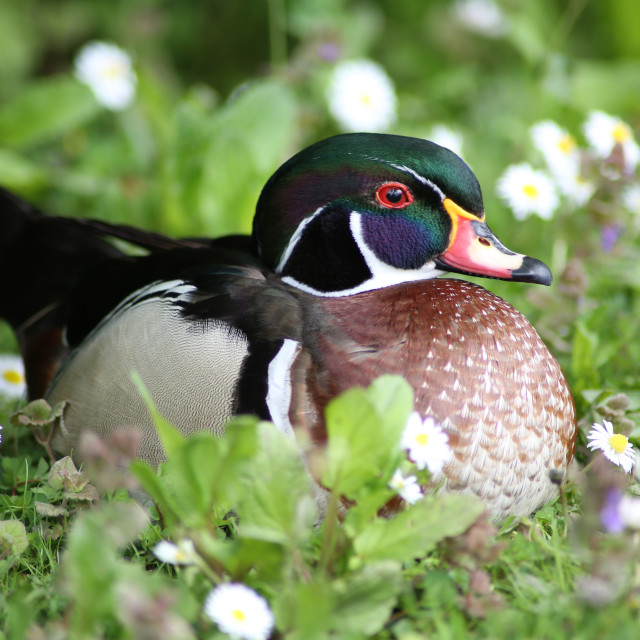 """Carolina Wood Duck"" stock image"