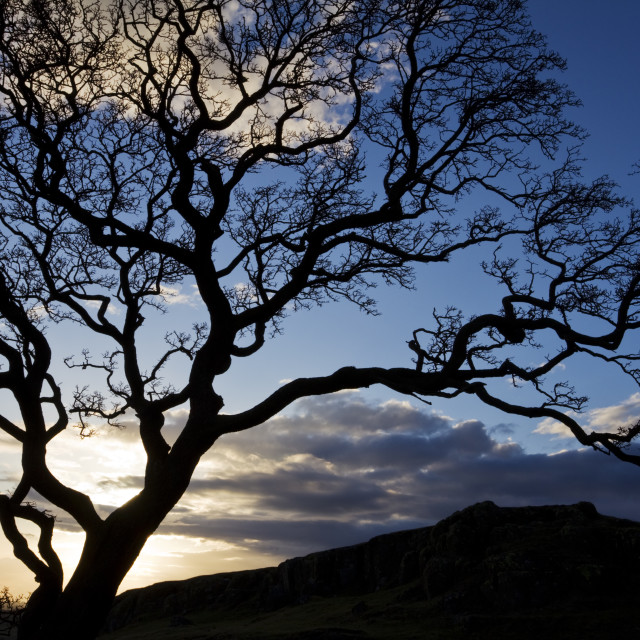 """""""Silhouetted Hawthorn"""" stock image"""