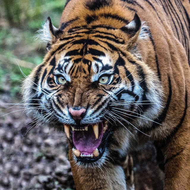 """Ferocious Tiger"" stock image"
