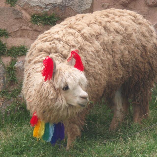 """""""Sheep in Cusco"""" stock image"""