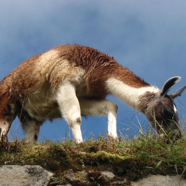"""Lama from below"" stock image"