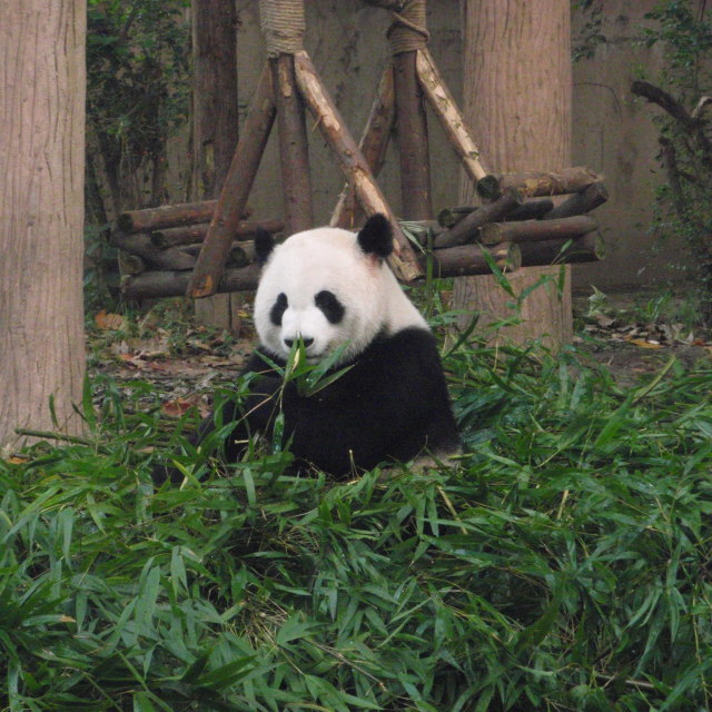 """Panda in Chengdu"" stock image"