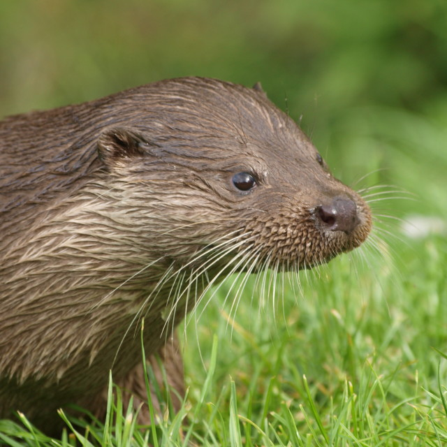 """Otter close up"" stock image"