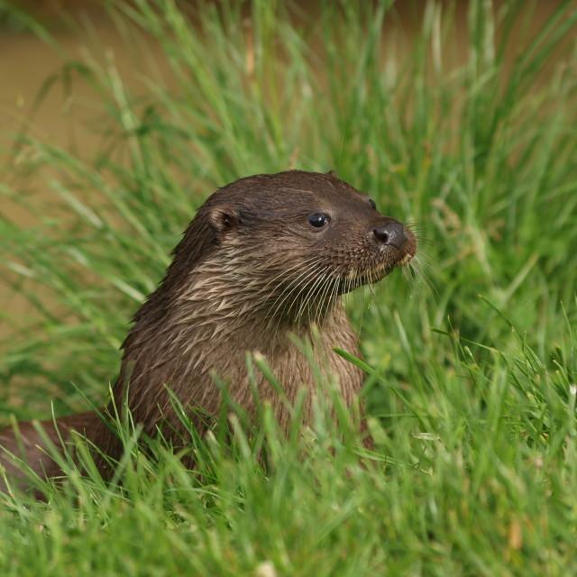 """British Otter"" stock image"