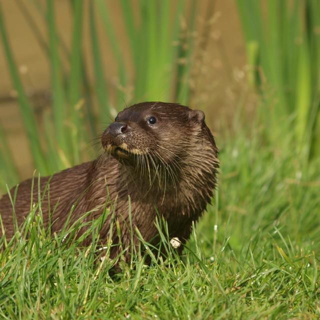"""The British Otter"" stock image"