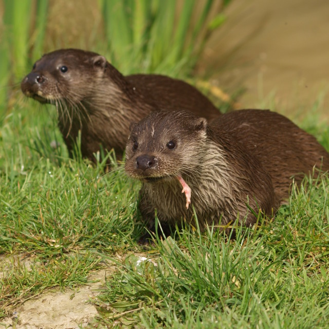 """""""Otter duo"""" stock image"""
