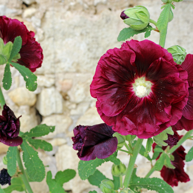 """burgundy hollyhock flower"" stock image"