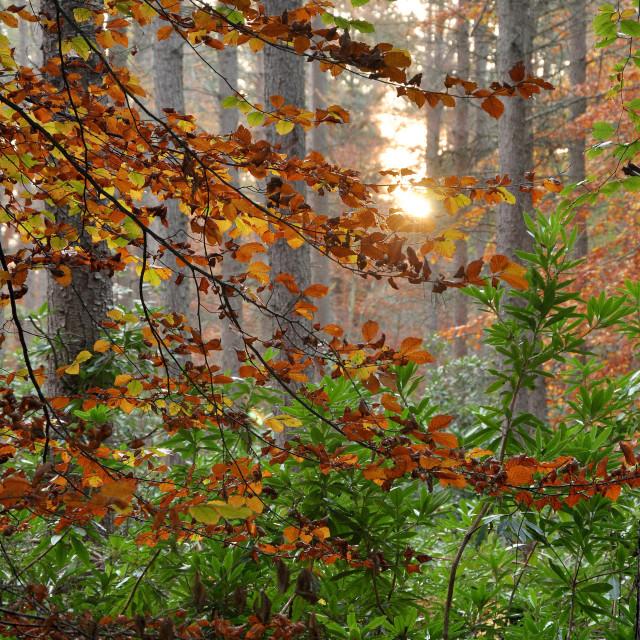 """Autumn beech leaves"" stock image"