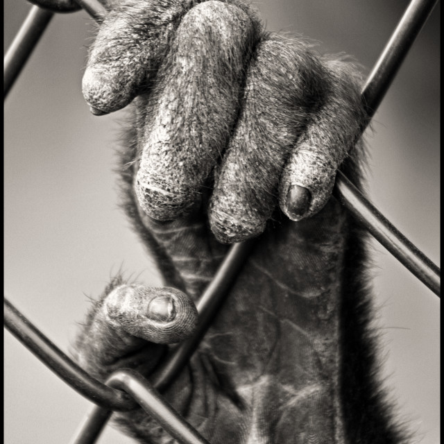 """Monkey's hand b&w"" stock image"