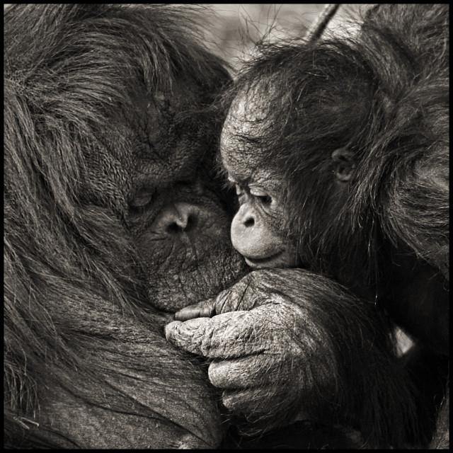 """Orangutan with Baby"" stock image"