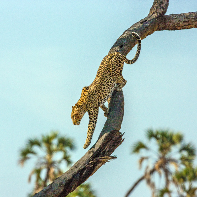 """""""African Leopard"""" stock image"""