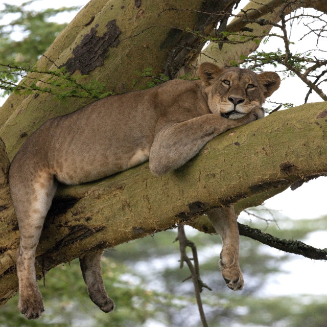"""Lounging Lion"" stock image"