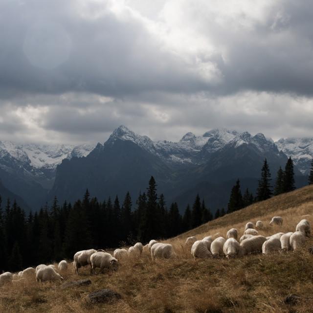 """High Altitude grazing"" stock image"