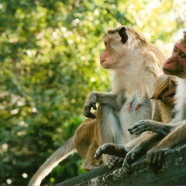 """Monkeys deep in thought"" stock image"