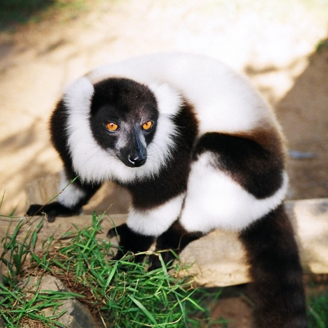 """Black and white ruffed lemur, Madagascar"" stock image"