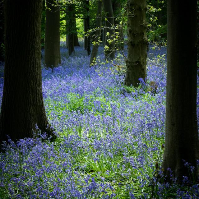 """Bluebell Wood"" stock image"