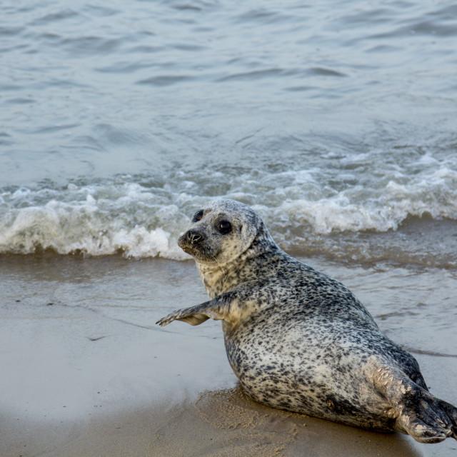 """Waving seal."" stock image"