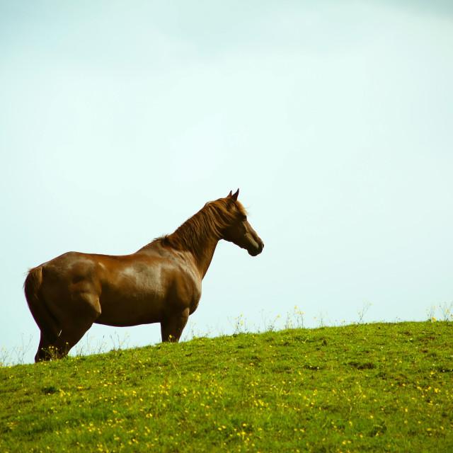 """Chestnut Horse"" stock image"