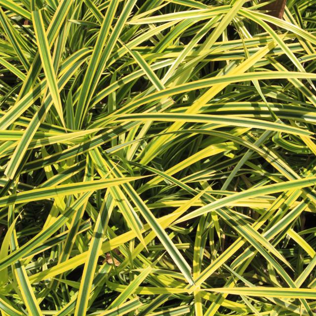 """Ornamental grass like house plant"" stock image"