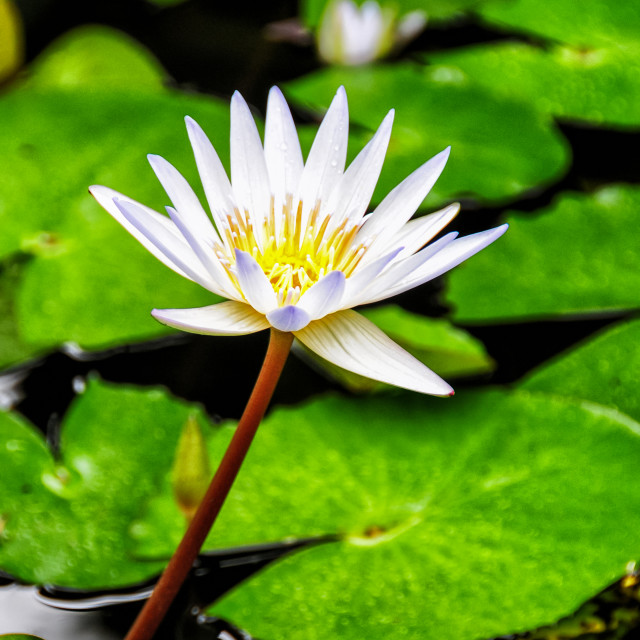 """""""White Water Lily"""" stock image"""
