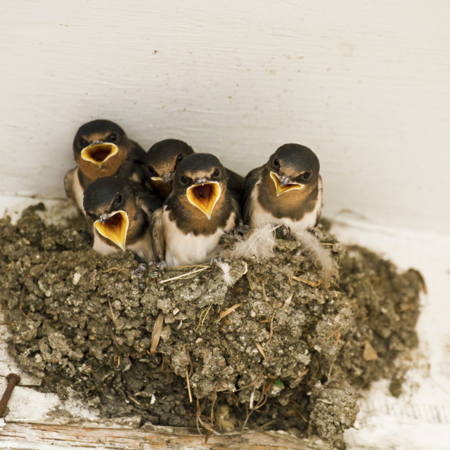 """""""swallow nest with chicks"""" stock image"""