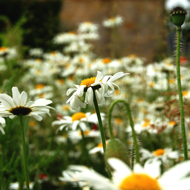 """White daisy field"" stock image"