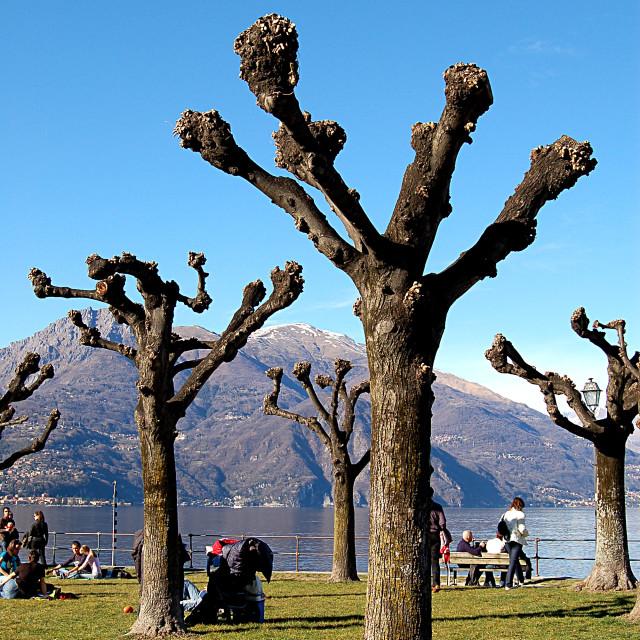 """Strange looking trees in Como"" stock image"