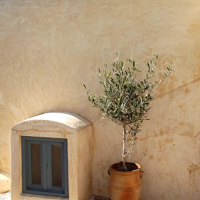 """Olive tree"" stock image"