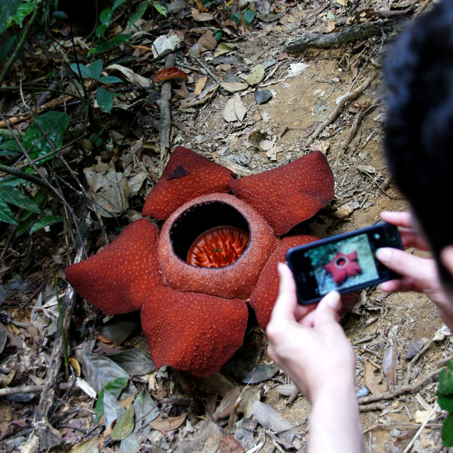"""Rafflesia flower"" stock image"